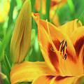 Daylily Bud And Bloom by Maria Keady