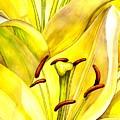 Daylily by Catherine G McElroy