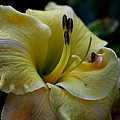 Daylily Collection # 5 by G Berry