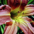 Daylily by D Hackett