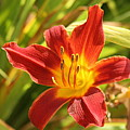 Daylily by Jean Macaluso