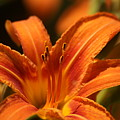 Daylily by Pete Federico