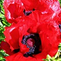 Dazzling Red Poppies by Will Borden