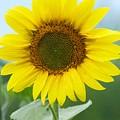 Dazzling Sunflower by Tiffany Erdman