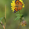 Ddp Djd Painted Lady On Sunflower 2690 by David Drew