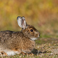 Ddp Djd Snowshoe Hare 98 by David Drew