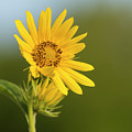Ddp Djd Sunflower 2639 by David Drew