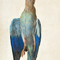 Dead Blue Roller by Albrecht Durer