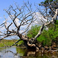 Dead Cedar Tree In Waccasassa Preserve by Barbara Bowen