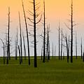 Dead Cedars by Louis Dallara