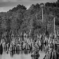 Dead Lakes Cypress Stumps Bw  by Debra Forand