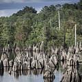 Dead Lakes Cypress Stumps by Debra Forand