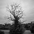 Dead Live Oak by Art K