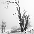 Dead Oak In Snow by Alexander Kunz