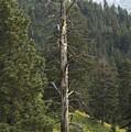Dead Pine by Sara Stevenson