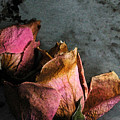 Dead Roses 1 by Kathi Shotwell