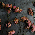 Dead Roses 6 - Photo by Kathi Shotwell
