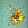 Dead Suflower by Jill Battaglia