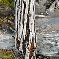 Dead Tree Above Tree Line I by Joanna Whitney