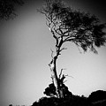 Dead Tree Bw by Raimond Klavins