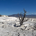 Dead Tree In Yellowstone Park Hot Springs  by Thomas Baker