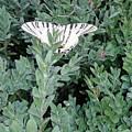 Dear Butterfly  by Iolanda Schena