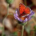 Death Valley Butterfly by Chris Brannen