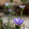 Death Valley Lavenders by Chris Brannen