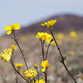 Death Valley Super Bloom 2016 by Mike Kelso