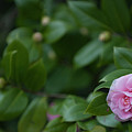 December Blooming Camellia Flowering Plant by Dale Powell