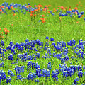 Decorative Texas Bluebonnet Meadow Photo A32517 by Mas Art Studio