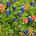 Decorative Texas Bluebonnets Meadow Digital Photo G33117 by Mas Art Studio