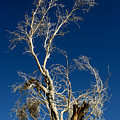 Deep Blue White Tree by Chris Brannen