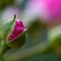 Deep Pink Rose Bud - Rose Bud by Marie Jamieson