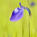 Deep Purple by Pramod Bansode