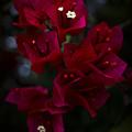 Deep Scarlet Glabra by Mario Morales Rubi