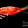 Deep Sea Shrimp by Dant� Fenolio