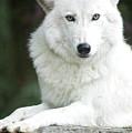White Wolf by Scott Kemper