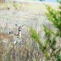 Deer 005 by Jeff Downs