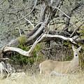 Deer 009 by Jeff Downs