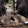 Deer 336 by Joyce StJames