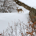 Deer At Castlewood Canyon by Anjanette Douglas