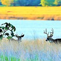 Deer At Sunset by Jeff Downs