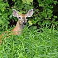 Deer Beauty II by Diane Friend