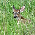 Deer Bedded Down During Mid Day by Jeramey Lende