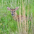 Deer Bedded Down In Grass by Jeramey Lende