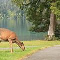 Deer By Crescent Lake by Carol Groenen