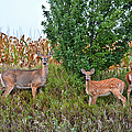 Deer Family by Bonfire Photography
