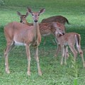 Deer Family Out For Evening Stroll by Barb Montanye Meseroll