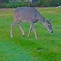 Deer Grazing In City Field by Shirley Riggs-spencer